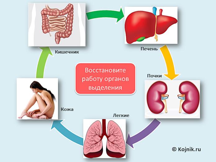 Восстановите нормальное функционирование выделительных органов: кишечника, печени, почек, а также легких и кожи