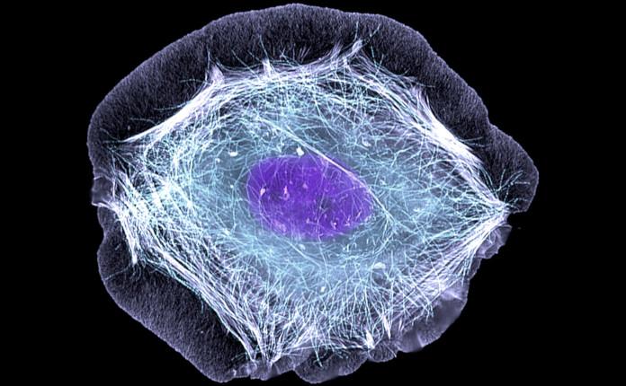 Кератиноцит - основная клетка эпидермиса