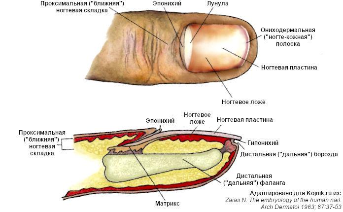 Ногтевой аппарат (схема)