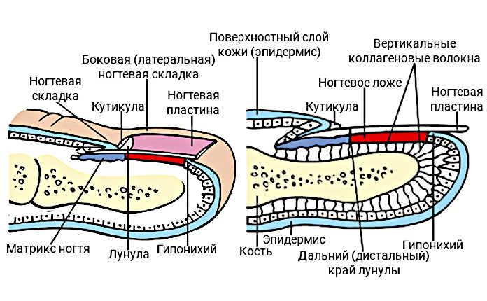 Схема. Ногтевой аппарат